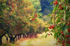 Как правильно сажать и выращивать фруктовые деревья