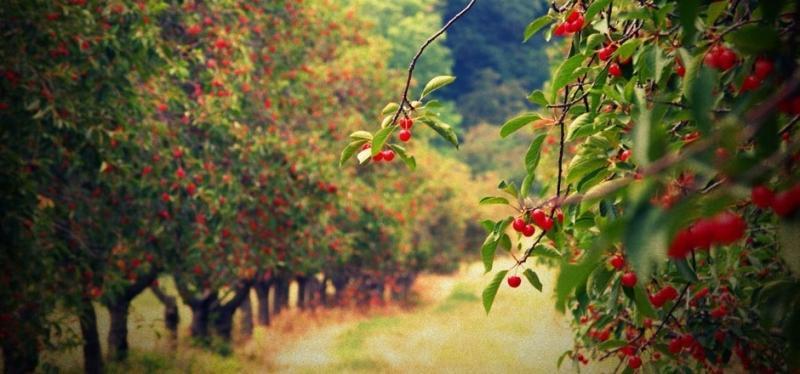 kak-pravilno-sazhat-i-vyrashhivat-fruktovye-derevya